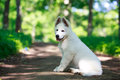 Dog on nature white swiss shepherd puppy Royalty Free Stock Images