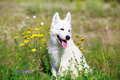 Dog on nature white swiss shepherd puppy Royalty Free Stock Photos