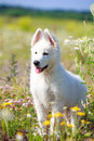 Dog on nature white swiss shepherd puppy Stock Photography