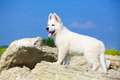 Dog on nature white swiss shepherd puppy Royalty Free Stock Image