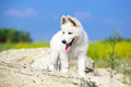 Dog on nature white swiss shepherd puppy Royalty Free Stock Photography