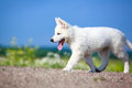 Dog on nature white swiss shepherd puppy Royalty Free Stock Photo