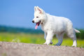 Dog on nature white swiss shepherd puppy Stock Photo