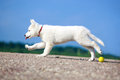 Dog on nature white swiss shepherd puppy Stock Images