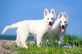 Dog on nature white swiss shepherd puppy Stock Photos