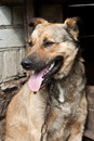 Dog near a kennel young chained his Royalty Free Stock Photos
