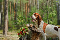 Dog near to trophies gun horizontal outdoors Stock Image