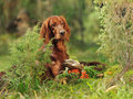 Dog near to trophies gun horizontal outdoors Royalty Free Stock Image