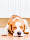 The dog  near to a warm radiator Stock Images