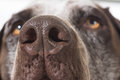 Dog nose close up german shorthaired pointer Stock Images