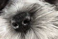 Dog nose parti color miniature schnauzer close up extreme shallow depth of field with selective focus on puppies Royalty Free Stock Photos