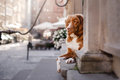 Dog Nova Scotia duck tolling Retriever in old town Royalty Free Stock Photo