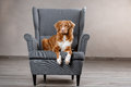 Dog nova scotia duck tolling retriever portrait dog on a studio color background lying chair in the Stock Photo