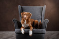 Dog nova scotia duck tolling retriever portrait dog on a studio color background lying chair in the Stock Photos
