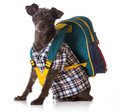 Dog obedience mixed breed wearing plaid shirt and backpack on white background Stock Photography