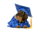 Dog obedience training wire haired dachshund dressed in a graduation gown isolated on white Stock Photography