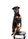 Dog obedience yagd terrier on a white background Stock Images