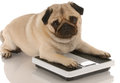 Dog obesity or fitness Royalty Free Stock Photo