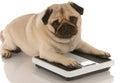 Pes obezita alebo vhodnosť
