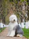 Dog Old English Sheepdog Royalty Free Stock Images