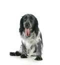 Dog panting spaniel with tongue out looking at viewer isolated on white background Stock Photos