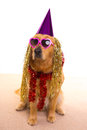 Dog party dressed  purple hat and glasses Royalty Free Stock Photo