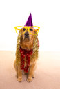 Dog party dressed  purple hat and glasses Royalty Free Stock Photos