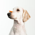 Dog patience a showing with a treat on nose Stock Photography