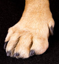Dog paw in the black background Royalty Free Stock Photos