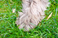 Dog paw a fluffy in the grass Stock Images