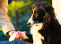 Dog paw and human hand doing a handshake outdoor female sign of friendship between Stock Images
