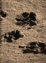 Dog paw imprints in the dirt Royalty Free Stock Photo