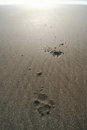 Dog paw prints in sand Royalty Free Stock Photo