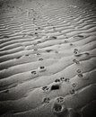 Dog pawprints in sand on provincetown beach paw prints the at a massachusetts with black and white instagram effect filter Stock Photo