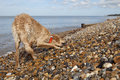 Dog on pebble beach in herne bay full length of mixed breed kent Royalty Free Stock Photo