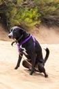 Dog peeing Royalty Free Stock Photo