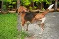 Dog peeing on lawn