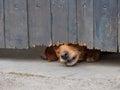 Dog Peeking Through Fence