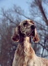 Dog pet English Setter Stock Images