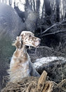 Dog pet English Setter Stock Image