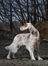 Dog pet English Setter Royalty Free Stock Photos