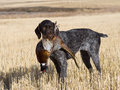 Dog and Pheasant Royalty Free Stock Photo