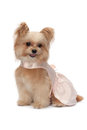 Dog in pink dress cute mixed breed white background with clipping path Royalty Free Stock Images