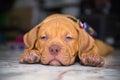 Dog pit bull sleepy puppy on floor Royalty Free Stock Image