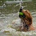 Dog Play Royalty Free Stock Photo