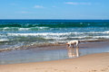 Dog playing on the beach beautiful sea and sandy Royalty Free Stock Image
