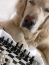 Dog playing chess Stock Photo