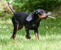 Dog playing fetch black and tan coonhound with a stick Royalty Free Stock Photos