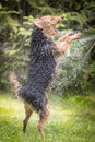 Dog playing or fighting with water stream. Royalty Free Stock Photo