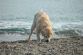 Dog playing in front of the sea a Royalty Free Stock Photography